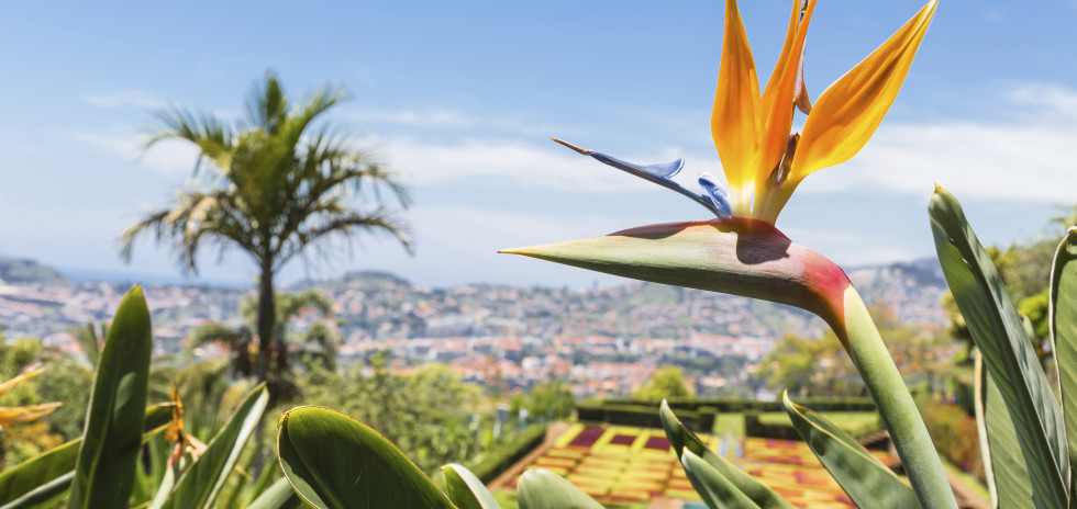 Strelitzia regina - une fleur typique de Madère