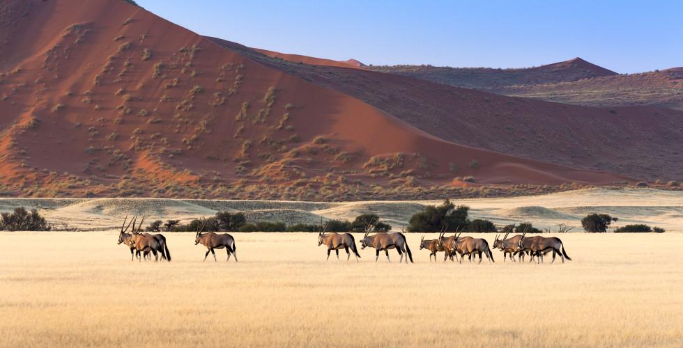 Oryx-Herde in Sossusvlei
