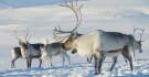 Famille de rennes