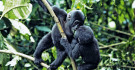 Junge Gorillas