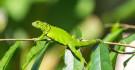 Iguane vert © Florian Kuster