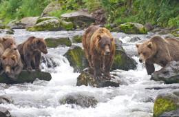 Voyage de lecteurs Sonntagszeitung/BZ/Tagi Kamtchatka, ours et volcans
