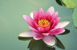 Vietnam, symphonie des fleurs de lotus