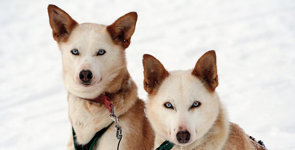 Schlittenhunde - Finnland