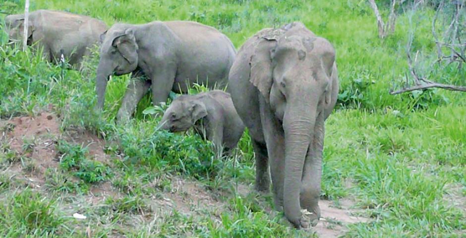 Éléphants - Sri Lanka
