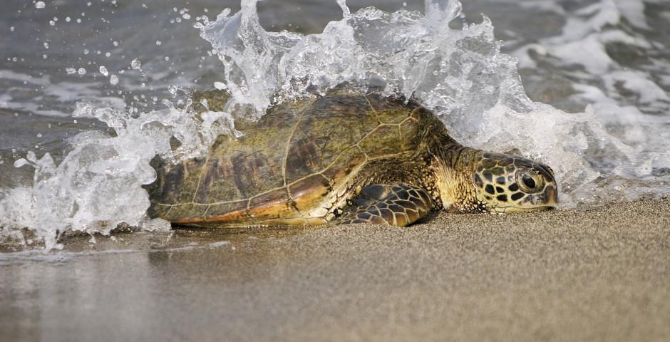 Schildkröte am Strand - Oman