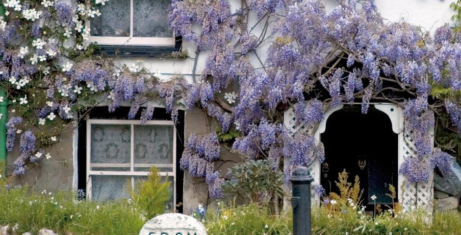 Glycine sur une façade de maison, Angleterre du Nord