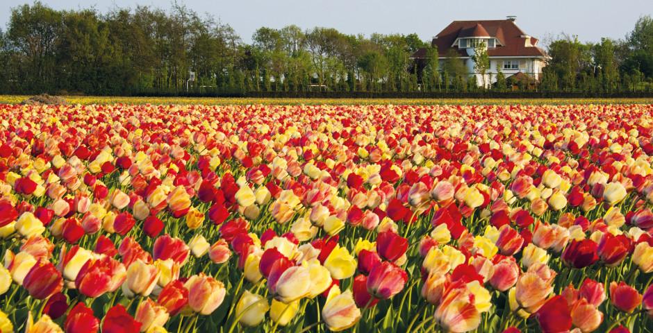Des tulipes - Amsterdam