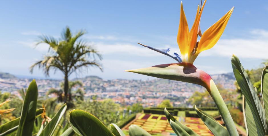 Strelitzia regina - une fleur typique de Madère - Madère