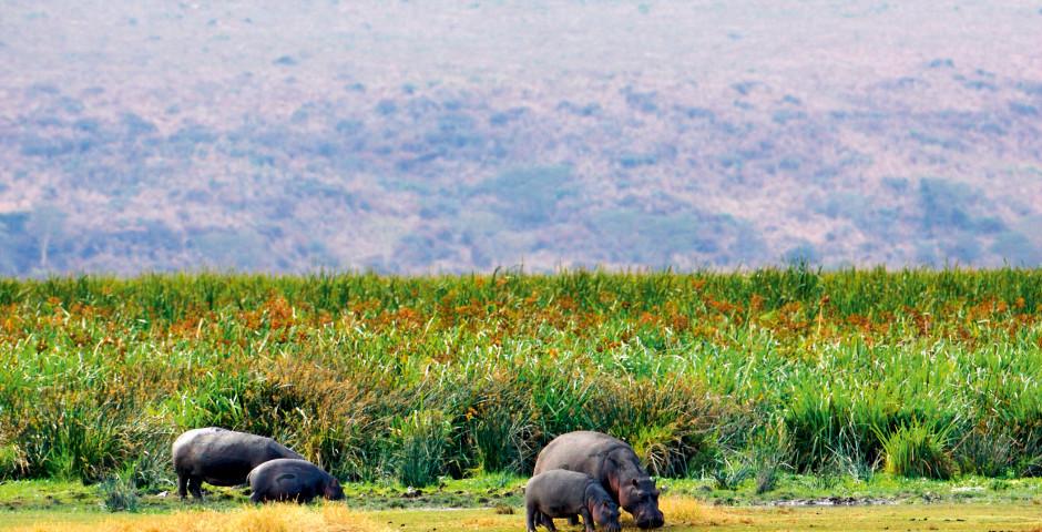 Nilpferde - Tansania