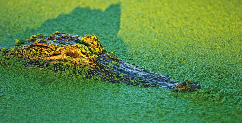 Spitzkrokodil - Everglades