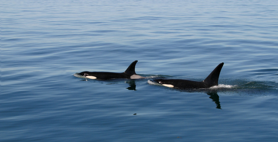 Orca-Wale - Vancouver Island