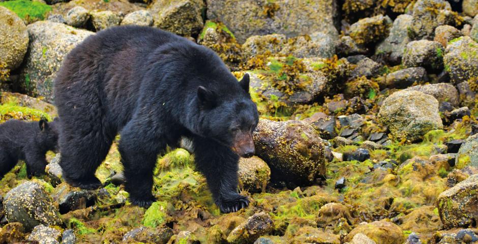 Ours noir au parc national Pacific Rim - île de Vancouver