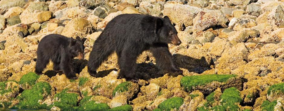 Schwarzbären bei Tofino auf Futtersuche