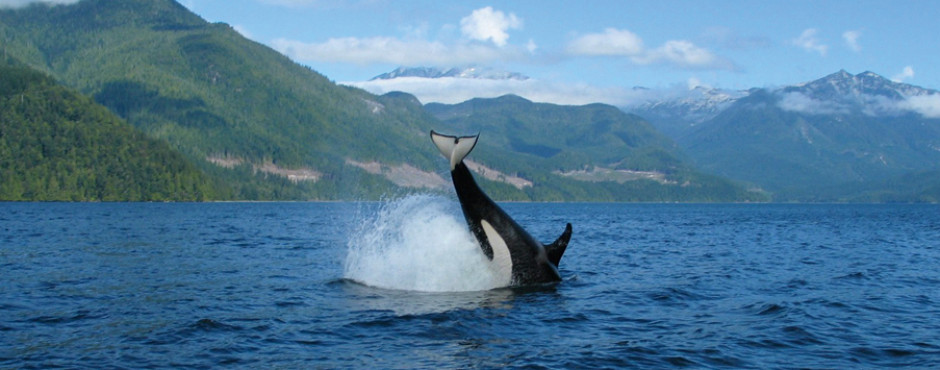 Orca bei Campbell River