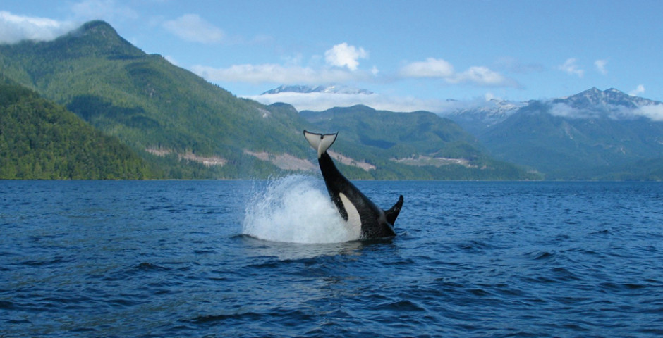 Orca bei Campbell River - Campbell River