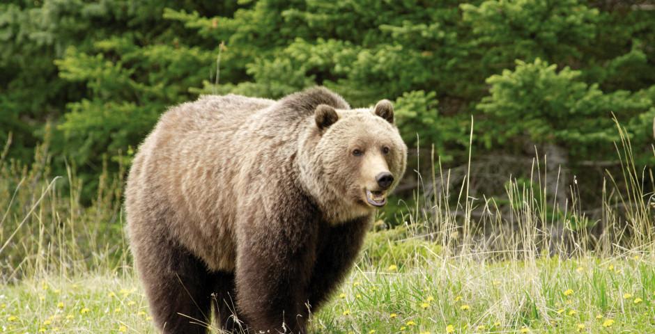 Grizzlybär im Jasper Nationalpark - Jasper