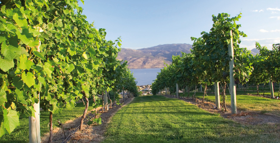 Weinreben im Okanagan Valley - Kelowna