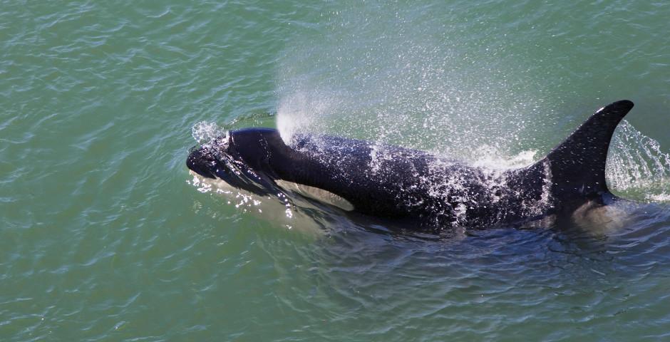 Orca-Wal - Prince Rupert