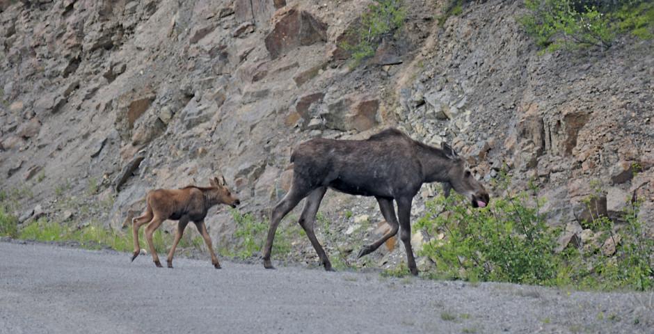 Elche auf dem Dempster Highway - Yukon