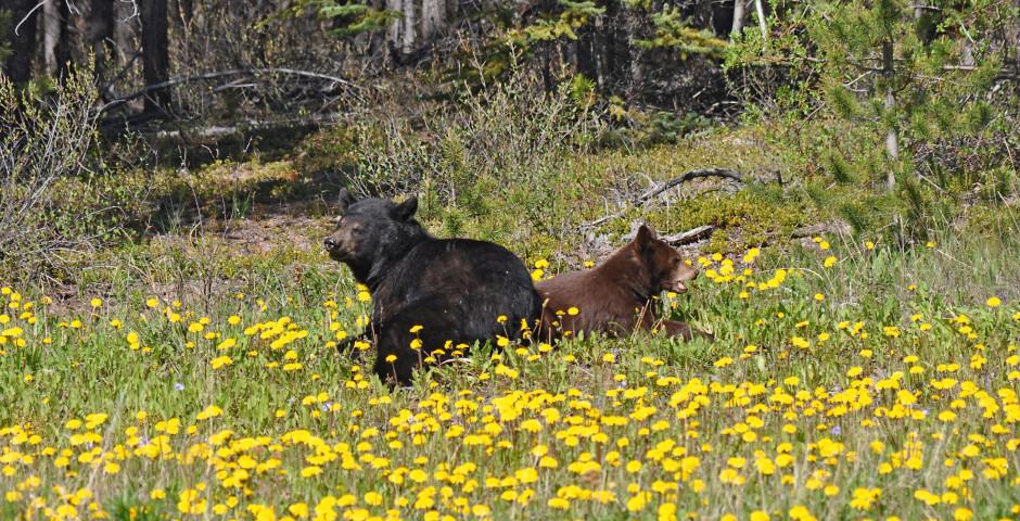 Bären bei Carcross - Yukon