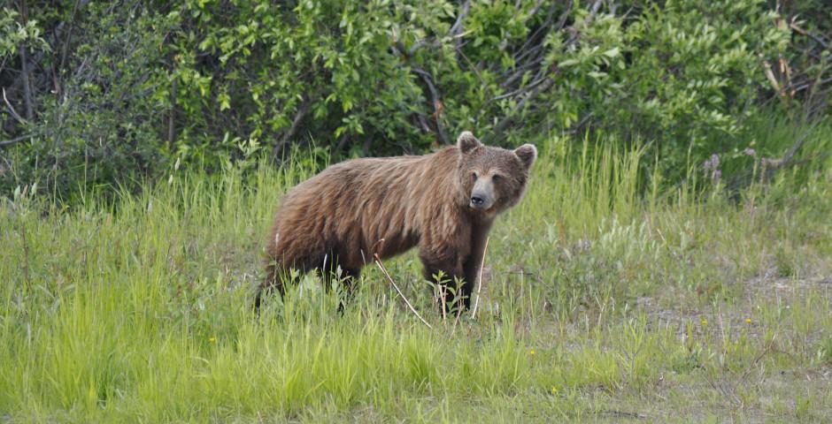 Bär auf dem Top of the World Highway - Yukon