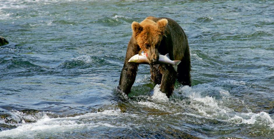 Bär beim Fischen - Alaska