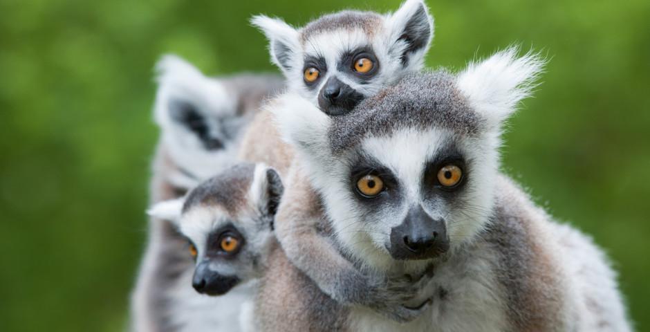 Lémuriens - Afrique australe