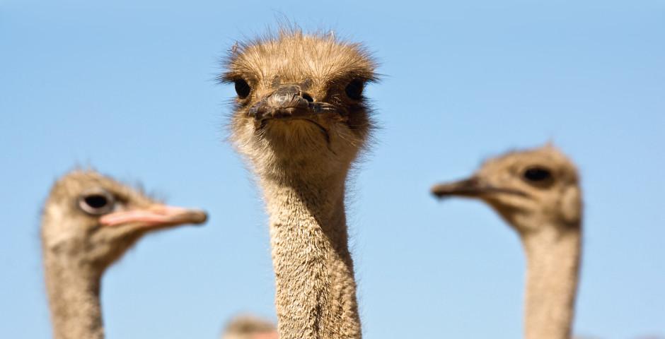 Strausse im Kruger Nationalpark - Südafrika