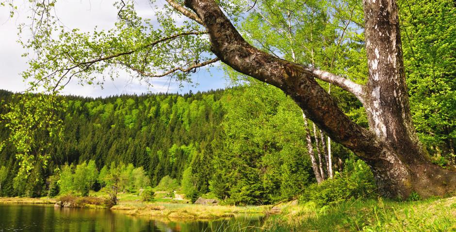 La forêt bavaroise en été - Forêt bavaroise