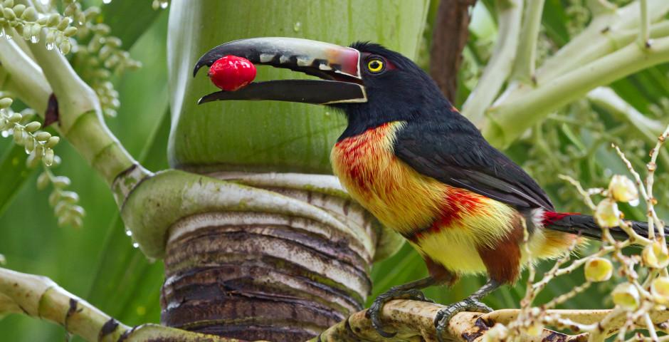 Halsbandarassari - Belize