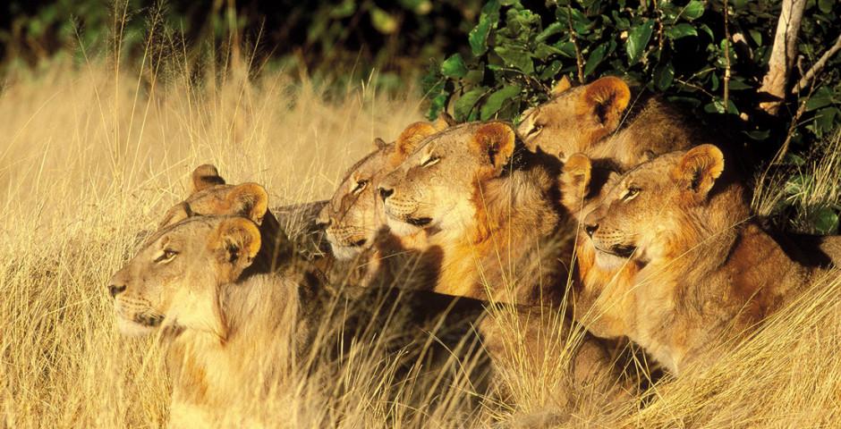 Löwen - Botswana