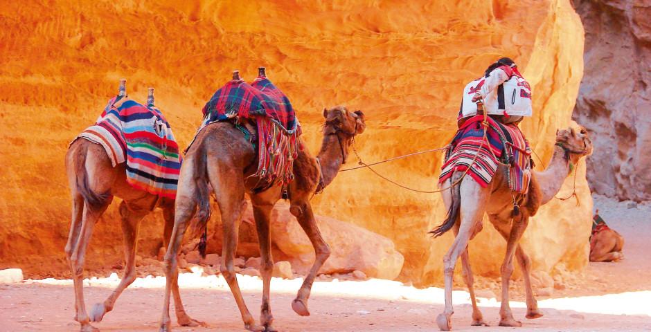 Kamele - Petra
