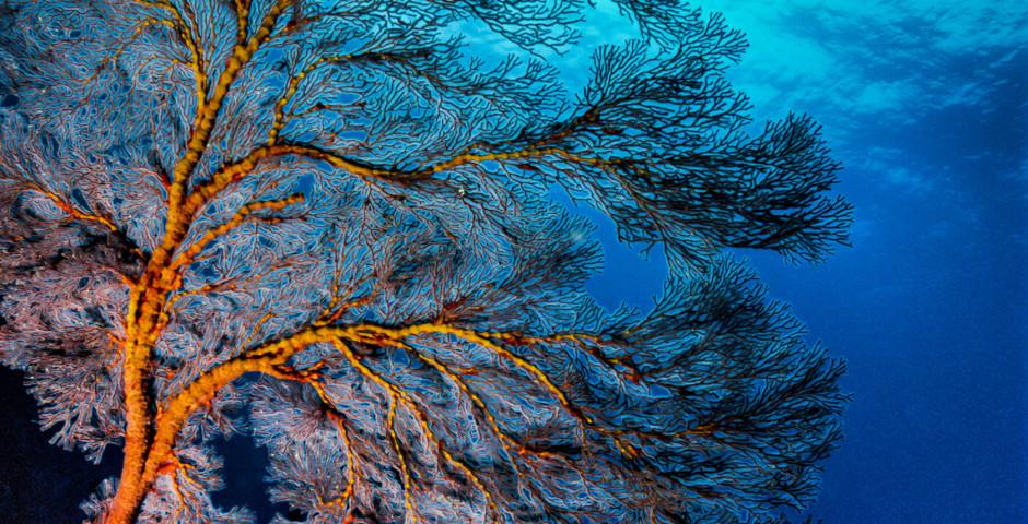 Koralle im Karibischen Meer - Bimini