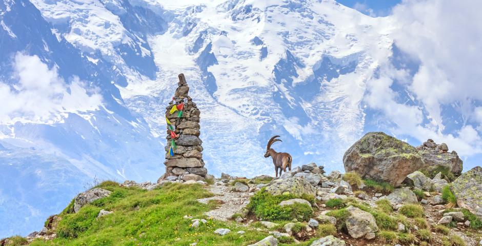 Steinbock vor dem Mont-Blanc - Chamonix Mont-Blanc