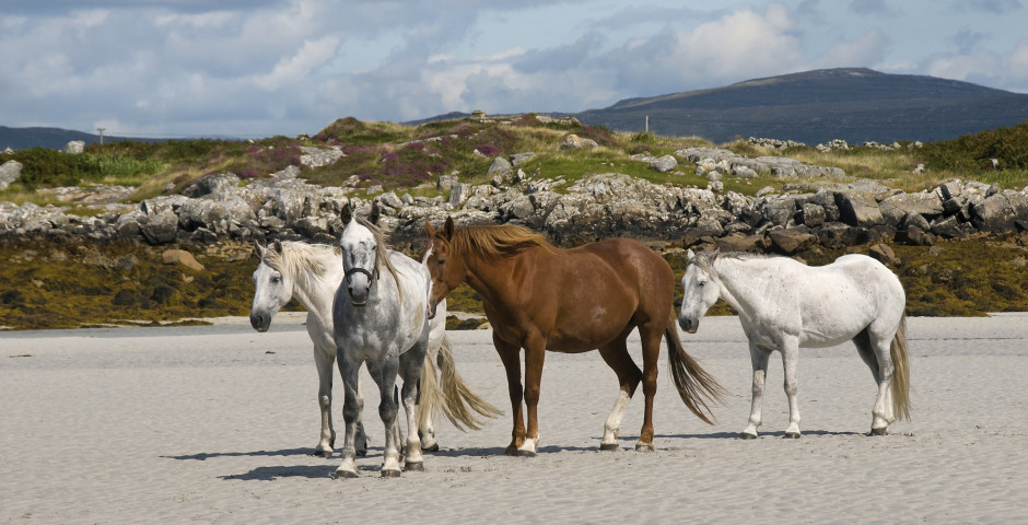 Chevaux - Galway