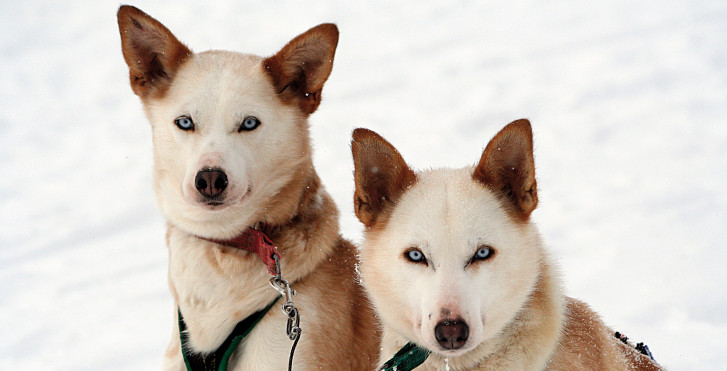 Huskies, Finlande