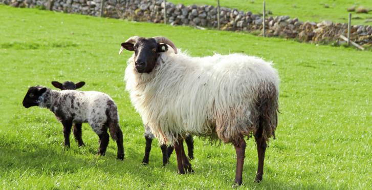 Moutons, Irlande