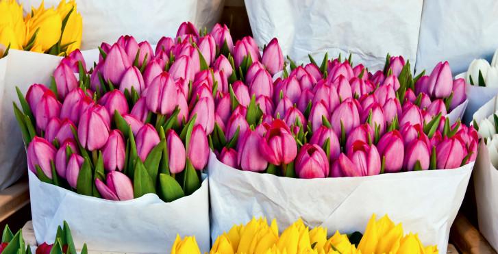 Pinke und gelbe Tulpen, Niederlande