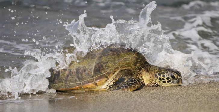 Schildkröte am Strand, Oman