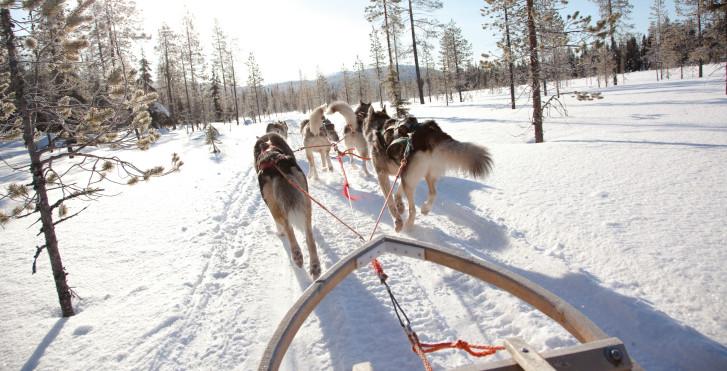Balade en traîneau à chiens, Pyhä / Luosto, Laponie