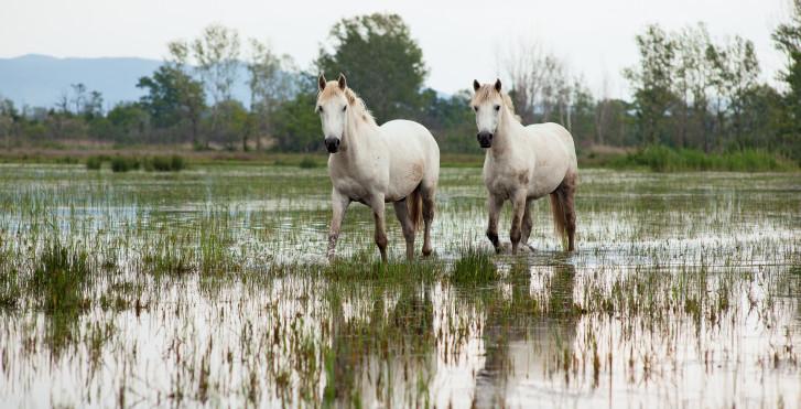 Pferde, Camargue