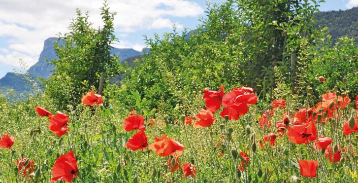 Coquelicots, Adige