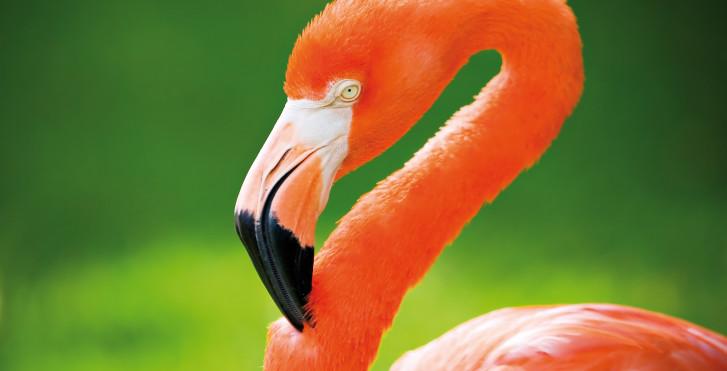 Flamingo in Santo Domingo, Dominikanische Republik