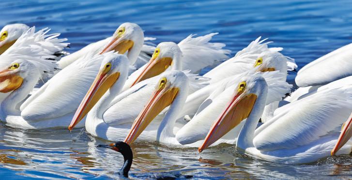 Pelikane, Longboat Key