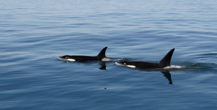 Schwertwale, Vancouver Island