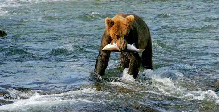 Bär beim Fischen, Alaska