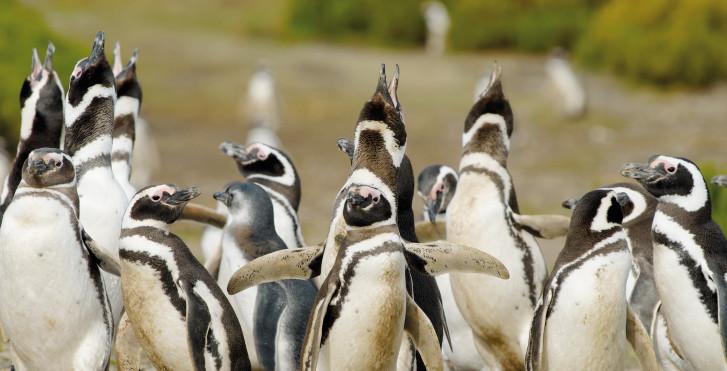 Magellan-Pinguine, Chile