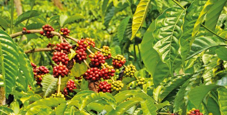 Plantation de café, Colombie