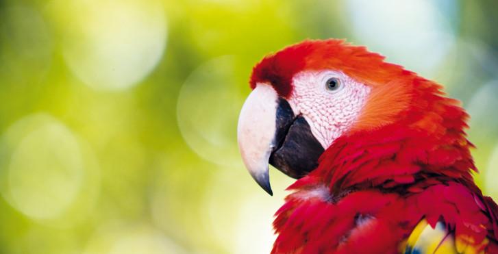 Papagei, Guatemala
